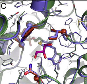 Overlay of the Des1 crystal structure (blue) and the FLS model (green, with mutated residues brown) with the docked DHA product (purple). The four active site mutations (BAL vs. Des1) are shown in sticks, conserved amino acids in lines. Credit: Siegel et al. PNAS March 24, 2015