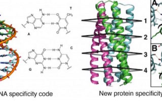 Molecular recognition in DNA is built upon a small set of hydrogen-bonding interactions in the core of the DNA double helix. Specificity in protein folding depends largely on buried packing of hydrophobic amino acid side chains complemented by irregular interactions of specific polar groups. A general method is described to design a wide range of protein oligomers that specifically interact via a network of hydrogen bonds. Credit: Baker Lab, University of Washington.